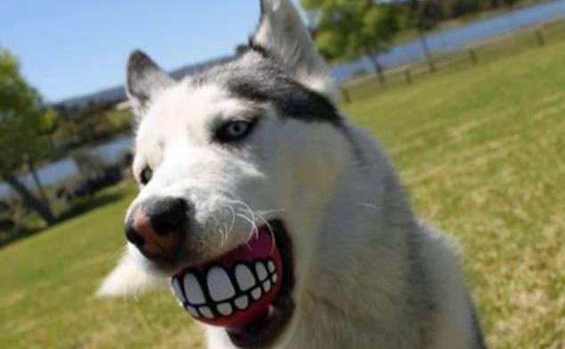 笑ったな?僕の顔見て笑ったな?犬が変顔になるボール